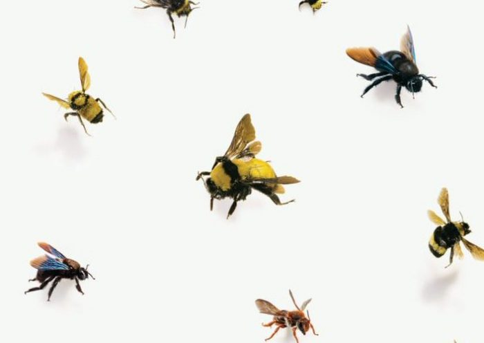 Buzz, The Nature and Necessity of Bees by Thor Hanson, reviewed