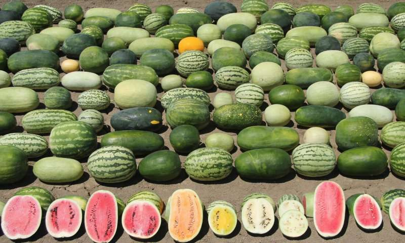 Harvesting genes to improve watermelons