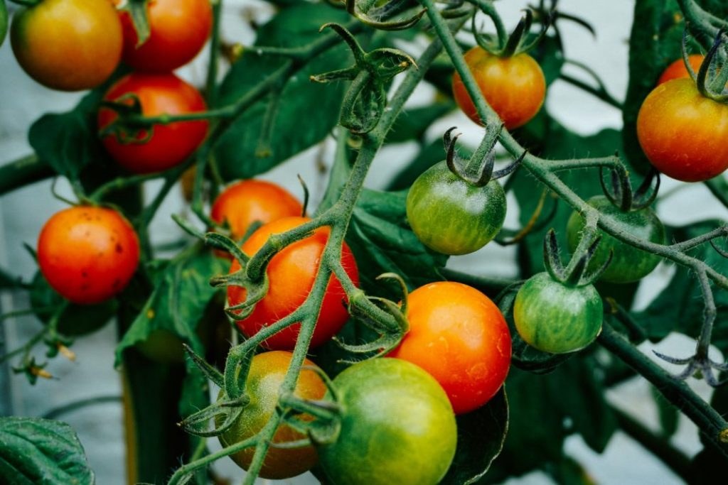 Food Tech News: Tomatoes in Outer Space, Square Teams Up with Postmates, Bollywood Star Invests in FoodTech